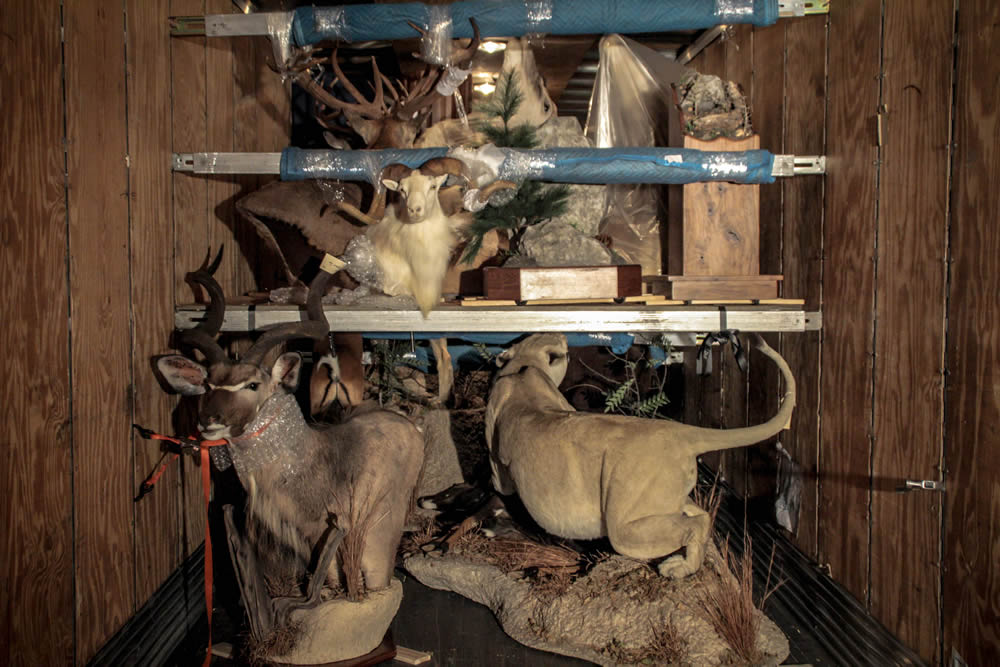 Taxidermy loaded using our crate-less system.