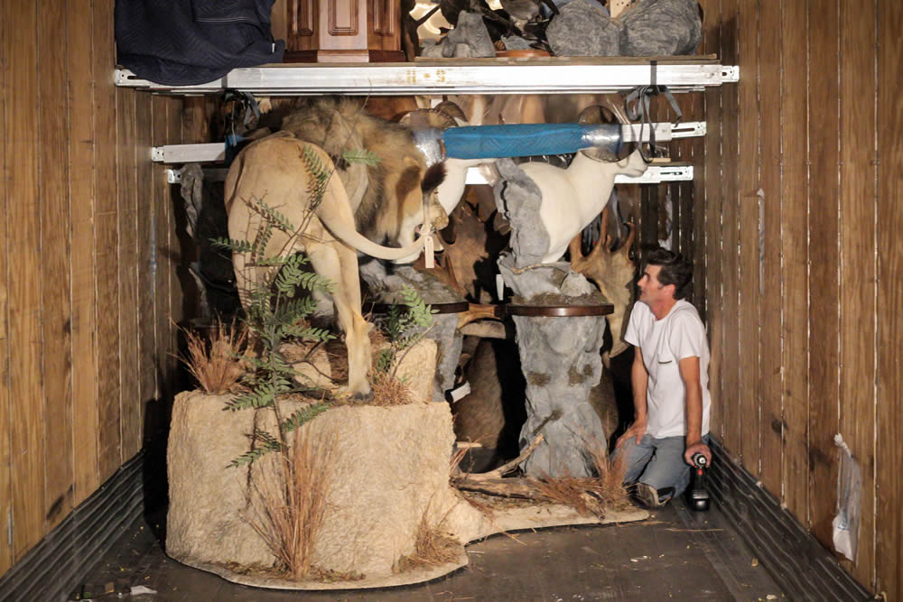 One of our drivers securing a large lion trophy